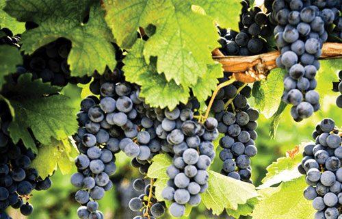 vang Pinot Noir